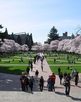Cherry-blossom trees surrounding campus grounds at University of Washington